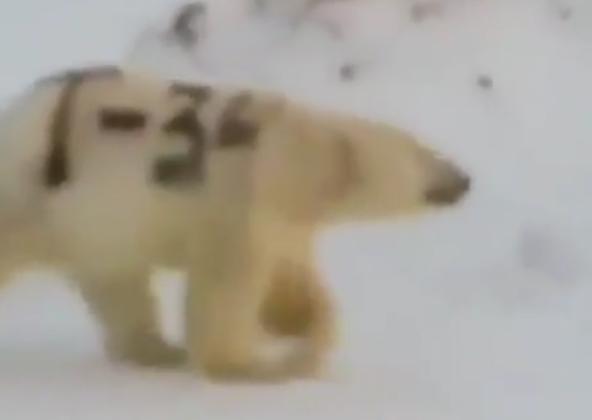 """北极熊身上被""""赐字"""" 网友痛心:可能会饿死"""