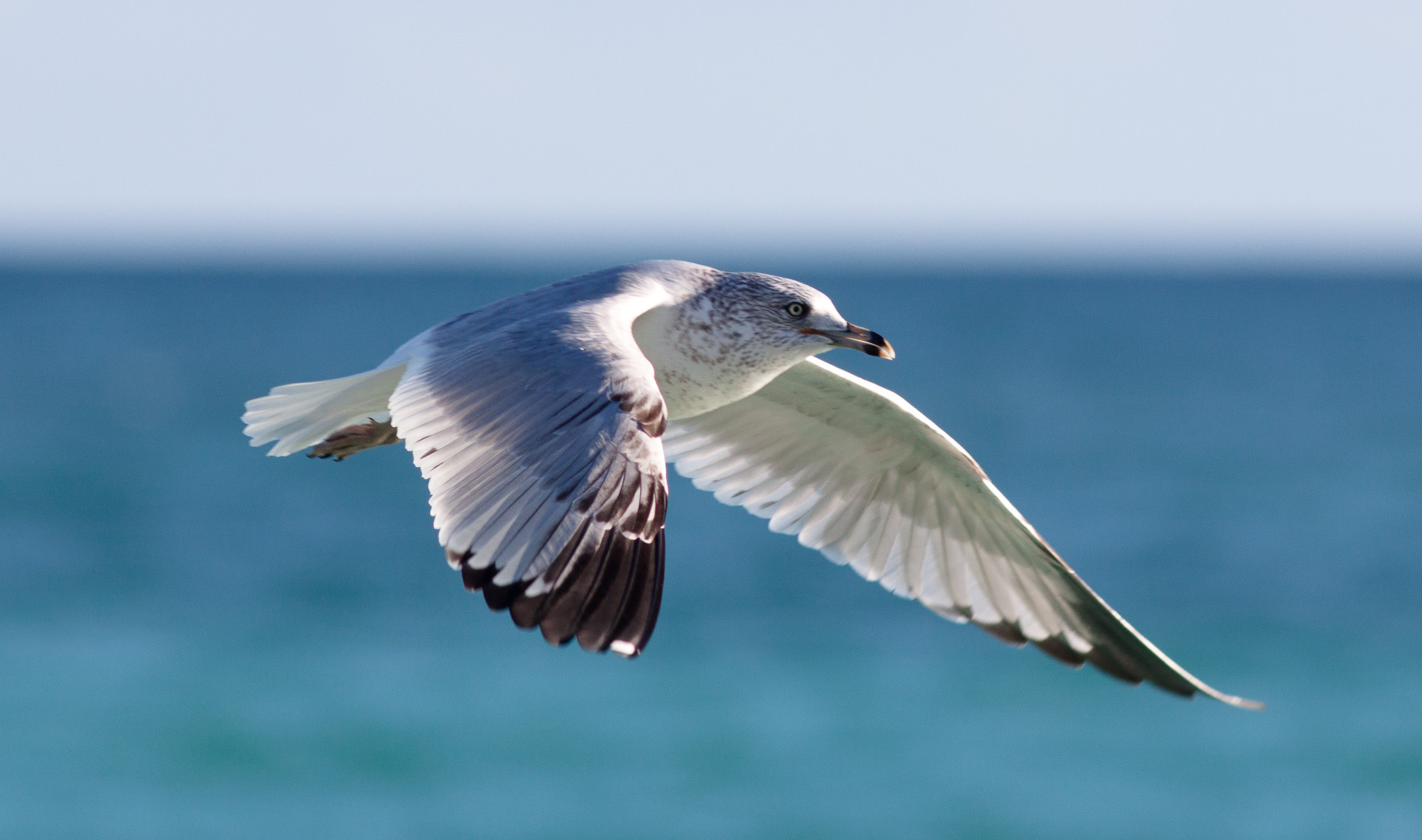 <a href='https://www.flickr.com/photos/fbohac/6617712775/'>'Seagull'</a> by <a href='https://www.flickr.com/people/fbohac'>Fil.Al</a> is licensed under <a href='https://creativecommons.org/licenses/by/2.0'>CC BY 2.0</a>