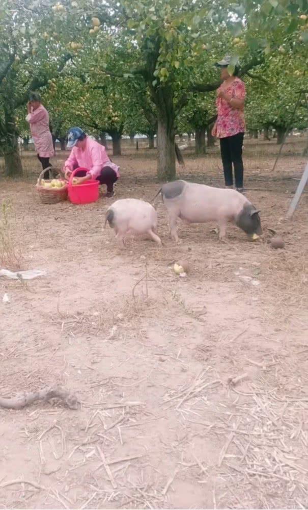 农民用水果喂猪走红:养一年多才出肉 有人特意找来预定