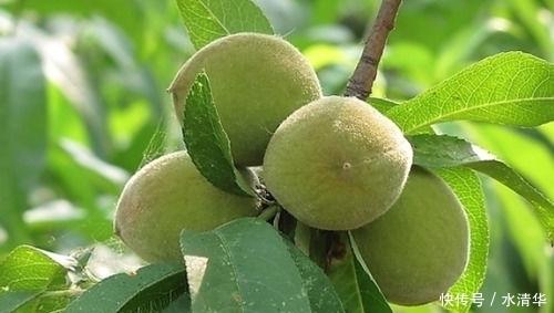 以前在農村總能看見非常多的野果子,那個時候只要是想吃了