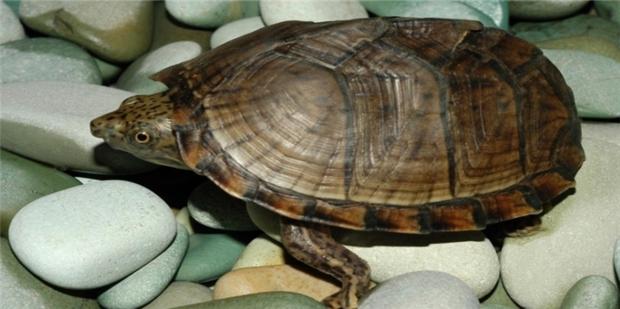 怎样让乌龟冬眠_乌龟冬眠醒了怎么办_360新知